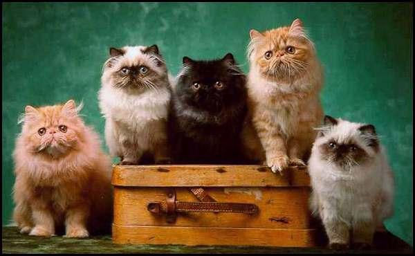 Ayser's kittens born 1997